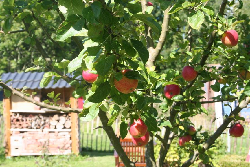 Leckere Äpfel aus dem Garten